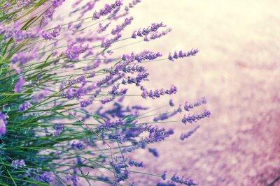 Adesivo Lavender in wild, toned