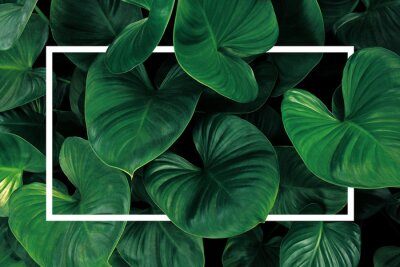 Adesivo Leaf pattern nature frame layout of heart shaped green leaves Homalomena tropical foliage plant on dark background with white frame border.