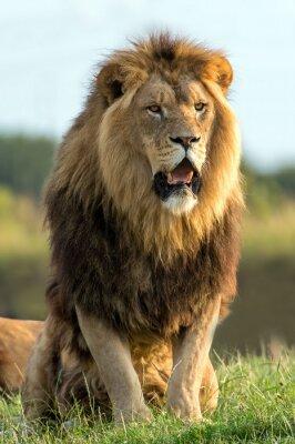 Adesivo Leão