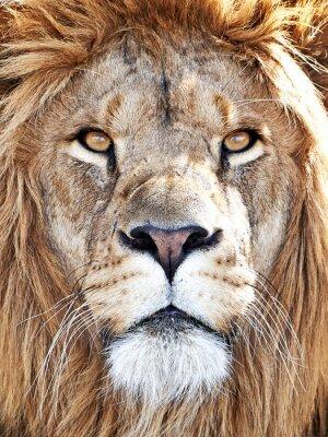 Adesivo Leão (Panthera leo)