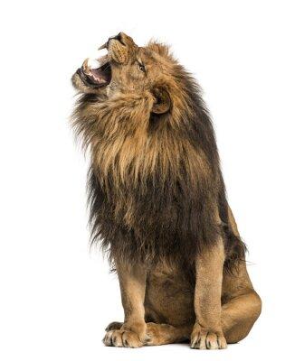 Adesivo Leão ruge, sentado, Panthera Leo, 10 anos de idade, isolado