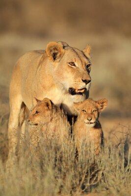 Adesivo Leoa com os filhotes de leão novos (Panthera leo) na luz do amanhecer, deserto de Kalahari, África do Sul.