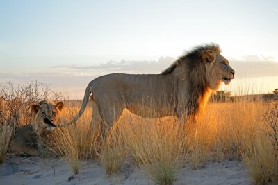 Adesivo Leões africanos masculinos grandes (Panthera leo) na luz do amanhecer, deserto de Kalahari, África do Sul.