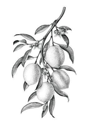 Adesivo Limão ramo ilustração preto e branco vintage clip art isolar no fundo branco