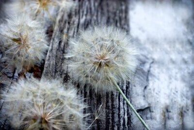 Adesivo Linda, dandelion, sementes, -, macio, blowball