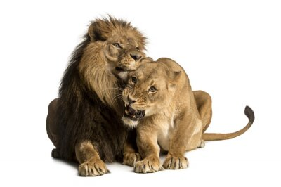 Adesivo Lion and lioness cuddling, lying, Panthera leo, isolated