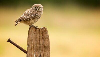 Adesivo Little owl on an old post