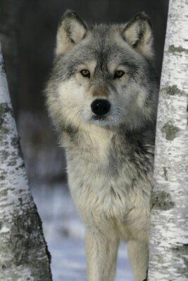 Adesivo Lobo cinzento, Canis lupus