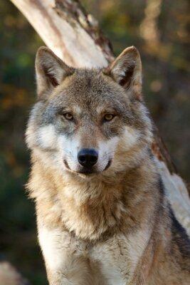 Adesivo Lobo cinzento - Canis Lupus
