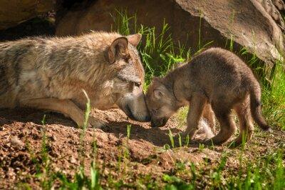 Adesivo Lobo cinzento (Canis lupus) Mãe e filhote de cachorro Toque Fora Den