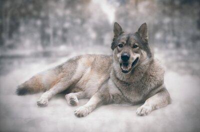 Adesivo Lobo / feliz do lobo no fundo da neve.