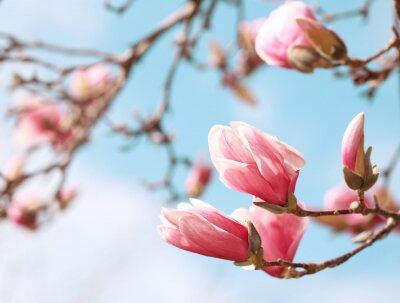Adesivo Magnolia flor da árvore na primavera