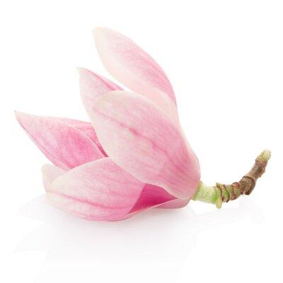 Adesivo Magnólia, flor rosa primavera no trajeto do branco, escorando