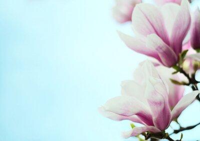 Adesivo Magnólia, flores, fundo, azul, céu