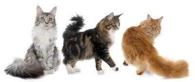 Adesivo Maine coon gatos