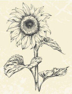 Adesivo Mão, desenhado, girassol, folhas, ans, caule, isolado, ligado, Textured, fundo