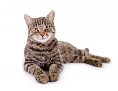 Adesivo Mentindo, gato malhado