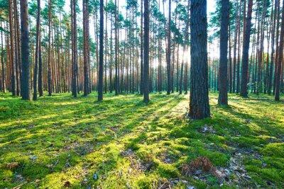 Adesivo Nascer do sol na floresta de pinheiros