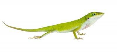 Adesivo O lagarto Anole verde do norte (Anolis carolinensis carolinens