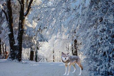 Adesivo O magnífico lobo polar branco veio para a caça