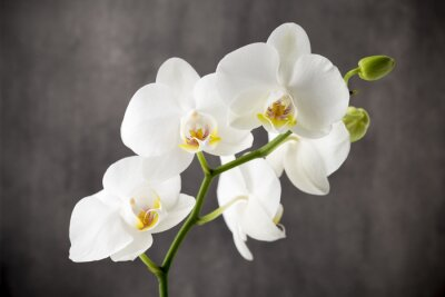 Adesivo Orquídea branca no fundo cinzento.