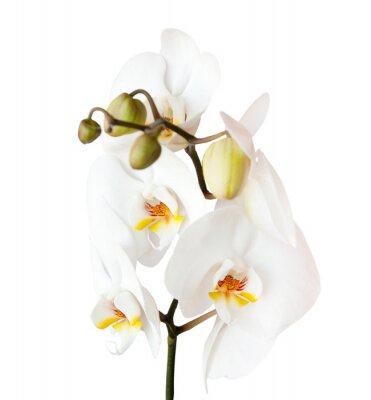 Adesivo Orquídea, isolado no fundo branco
