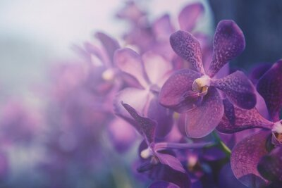 Adesivo Orquídea violeta na fazenda. Filtro: processo transversal efeito do vintage.