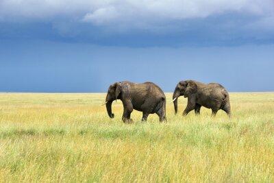 Adesivo Os elefantes africanos