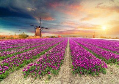 Adesivo Paisagem com tulipas, moinhos de vento holandeses tradicionais e casas perto do canal em Zaanse Schans, Holanda, Europa