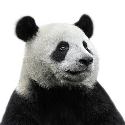 Adesivo Panda bear isolado no fundo branco
