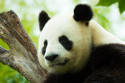 Adesivo Panda dormindo
