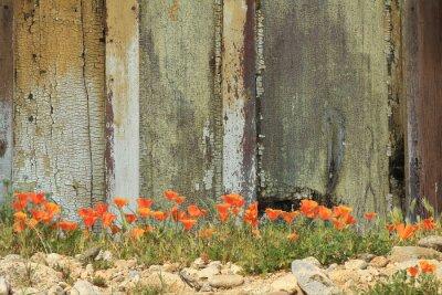 Adesivo Papoilas alaranjadas brilhantes de Califórnia que crescem ao lado de uma cerca de madeira resistida.