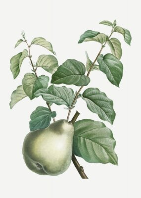 Adesivo Pear on a branch