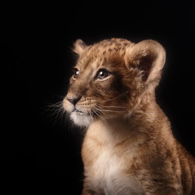 Adesivo Pequeno, leão, filhote, pretas, fundo