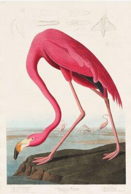 Adesivo Pink Flamingo de Birds of America (1827) por John James Audubon (1785-1851), gravado por Robert Havell (1793-1878)