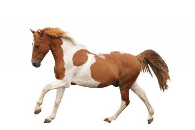 Adesivo Pony Skewbald galope isolado no branco