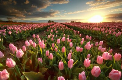 Adesivo Pôr do sol sobre o campo de tulipa rosa