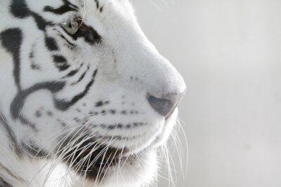 Adesivo Porträt Weißer Tiger