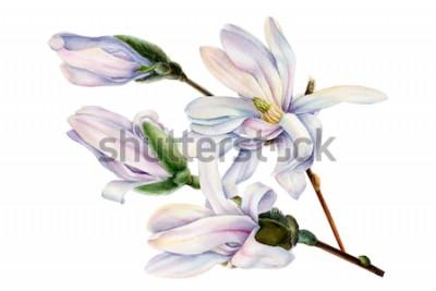Adesivo ramo de flores de magnólia de primavera em um fundo branco isolado, ilustração de aquarela, pintura botânica