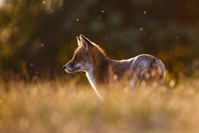 Adesivo raposa vermelha na luz bonita