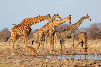 Adesivo Rebanho do Giraffe (camelopardalis do Giraffa) em um waterhole, parque nacional de Etosha, Namíbia.