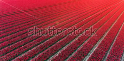 Adesivo Red tulip field Netherlands