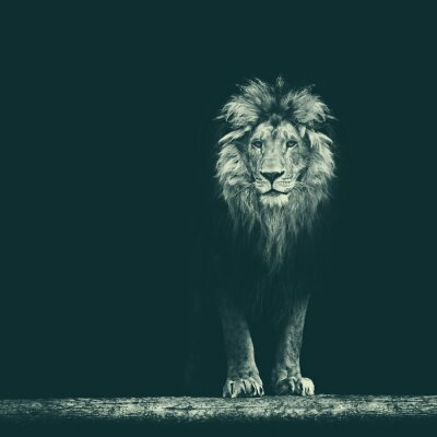 Adesivo Retrato, bonito, leão, leão, escuro