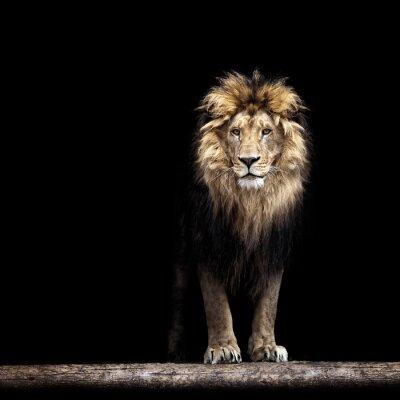 Adesivo Retrato de um leão bonito, leão no escuro