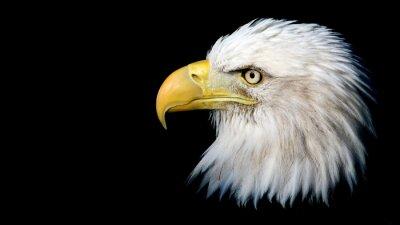 Adesivo Retrato de uma águia calva americana contra um fundo preto com espaço para texto