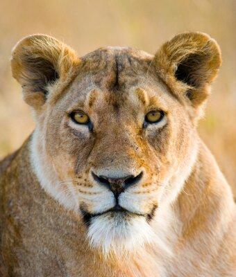Adesivo Retrato de uma leoa. Fechar-se. Quênia. Tanzânia. Maasai Mara. Serengeti. Uma excelente ilustração.