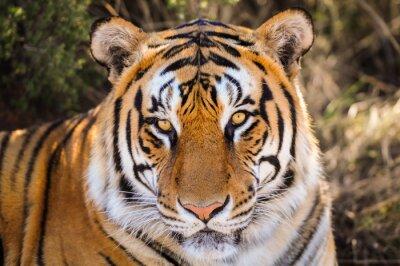 Adesivo Retrato do close up de um tigre