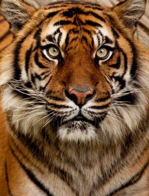 Adesivo Retrato do tigre