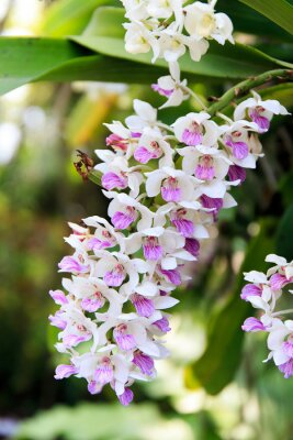 Adesivo Rhynchostylis orquídea.