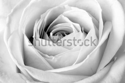 Adesivo Rosa branca, macro preto e branco